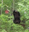 Funny pictures: Determined Black Bear