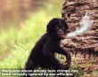 Funny pictures : Chimp Drug Abuse