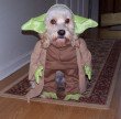 Funny pictures : Yoda Dog Costume
