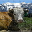 Photo puzzles : Alpine Cow Jigsaw